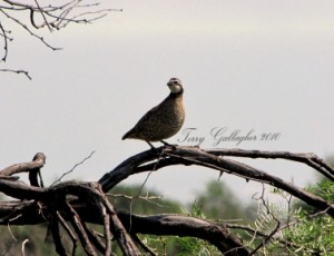 Quail on Branch